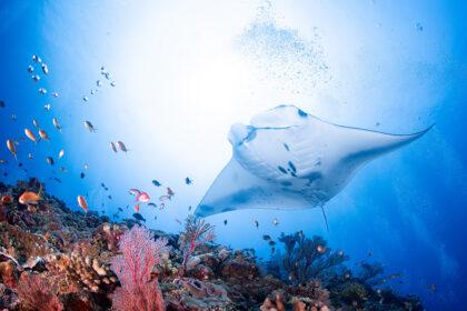 ウチザン礁 ナンヨウマンタ