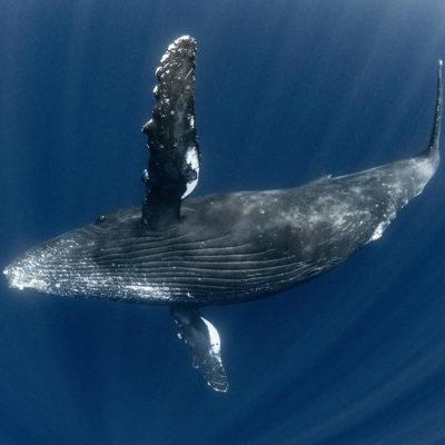 奄美大島 ザトウクジラ