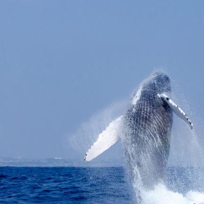 沖縄本島 ザトウクジラ