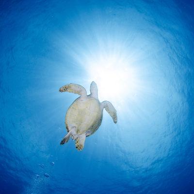 水納島 アオウミガメ
